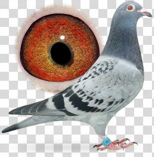 Racing Homer Homing Pigeon Bird Columbidae Breed - Pigeon Dangling Ring PNG