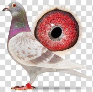 Homing Pigeon Columbidae Racing Homer Bird Pigeon Racing - Pigeon PNG