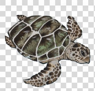 Sea Turtle Background - Pond Turtle Olive Ridley Sea Turtle PNG