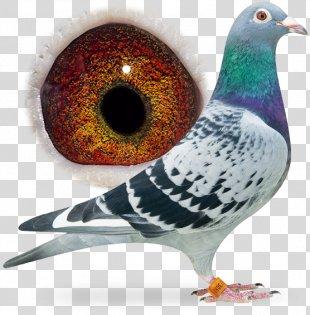 Racing Homer Columbidae Bird Pigeon Racing Animal - Bird PNG
