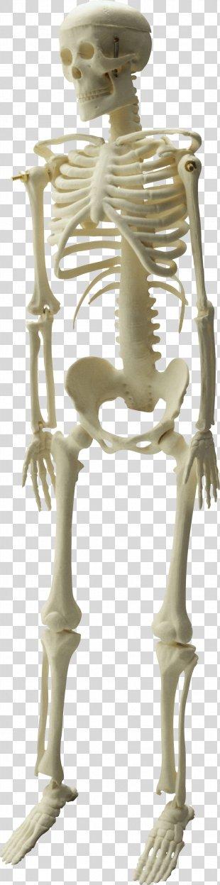 Skeleton Image File Formats Clip Art - Skeleton PNG