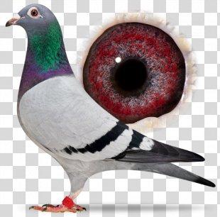 Homing Pigeon Racing Homer Columbidae Bird Pigeon Racing - Bird PNG