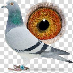Homing Pigeon Columbidae Bird Racing Homer Beak - Racing Pigeon PNG
