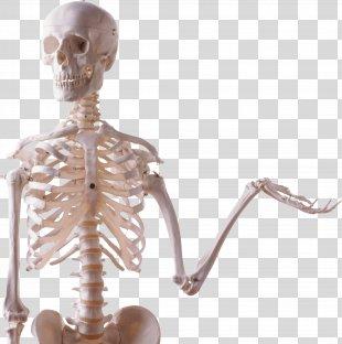 Skeleton Skull Bone Photography - Skeleton PNG