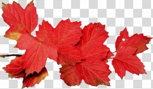 Autumn Leaves Leaf Photography - Autumn Leaves PNG