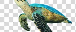 Hawksbill Sea Turtle Tortoise Loggerhead Sea Turtle - Sea Turtle PNG