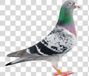 Homing Pigeon Racing Homer Columbidae Bird Bald Eagle - Pigeon PNG