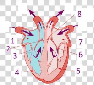 Heart Human Anatomy Human Body Circulatory System - Human Heart PNG