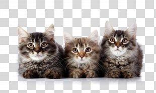 Cat Kitten Felidae Veterinarian Pet - Cat PNG