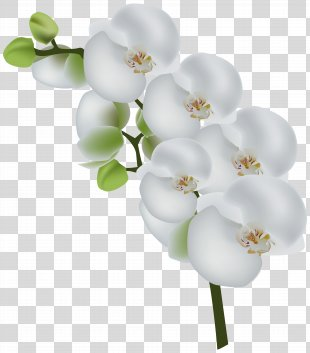 Orchids Stock Photography Clip Art - White Orchid Transparent Clip Art Image PNG