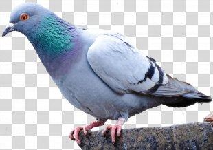 Pigeons And Doves Homing Pigeon Bird Racing Homer Fancy Pigeon - Bird PNG