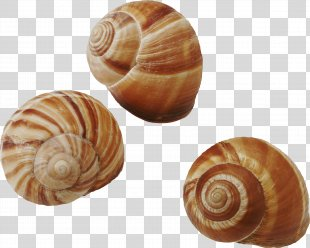 Seashell Common Periwinkle Snail Gastropods - Seashell PNG