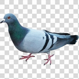 Pigeons And Doves Homing Pigeon English Carrier Pigeon Bird Racing Homer - Pigeon PNG