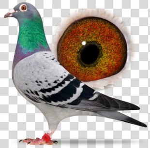 Racing Homer Columbidae Homing Pigeon Beak Bird - Racing Pigeon PNG