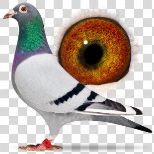 Racing Homer Beak Homing Pigeon Columbidae Bird - Racing Pigeon PNG
