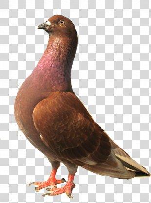 Columbidae Racing Homer Homing Pigeon Beak Bird - Burung Merpati PNG