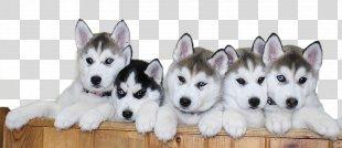 Siberian Husky Alaskan Malamute Puggle Puppy - Siberian Husky Puppy File PNG