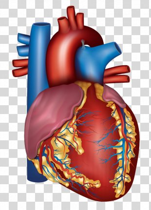 Blood Vessel Heart Circulatory System Artery Health - Human Heart PNG