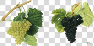 Red Wine Common Grape Vine Vintage - Grapes PNG