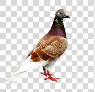 Homing Pigeon Columbidae Bird Columba - Pigeon PNG