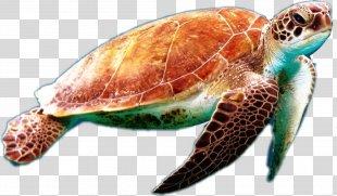 Loggerhead Sea Turtle Green Sea Turtle Sea Turtle Conservancy - Sea Turtle Drawing Aquatic Animal PNG