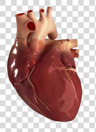 Human Heart Circulatory System Anatomy Human Body - Heart Health PNG