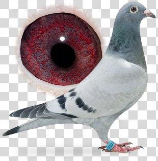 Racing Homer Columbidae Breed Pigeon Racing Bird - Pigeon PNG