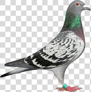 Homing Pigeon Racing Homer Columbidae Bird Fancy Pigeon - Bird PNG