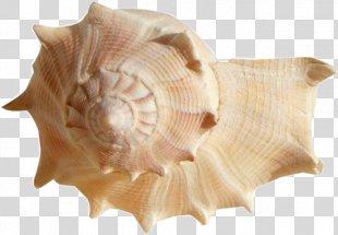 Seashell Desktop Wallpaper Image Cockle - Seashell PNG