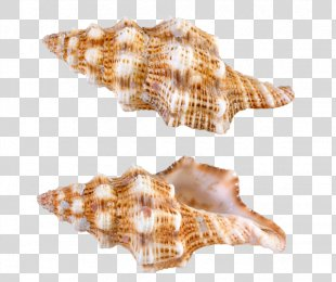 Seashell Conchology - Seashell PNG