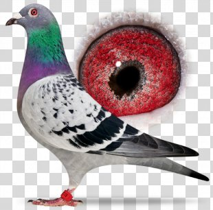 Columbidae Homing Pigeon Racing Homer Bird Beak - Bird PNG