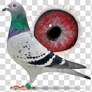 Homing Pigeon Racing Homer Columbidae Bird Pigeon Racing - Racing Pigeon PNG