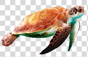 Green Sea Turtle World Turtle Day - Sea Turtle PNG