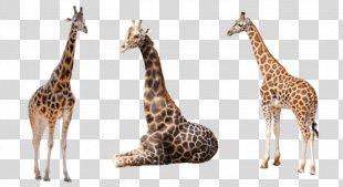 Stock.xchng Image Clip Art Reticulated Giraffe West African Giraffe - Giraffe Watercolor PNG