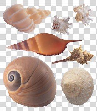 Seashell Sea Snail Conchology - Seashell PNG