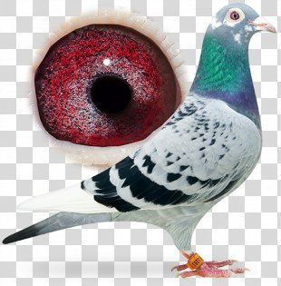 Racing Homer Columbidae Fancy Pigeon Bird Breed - Pigeon Dangling Ring PNG