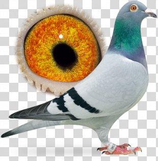 Homing Pigeon Columbidae Pigeon Racing Bird Breed - Pigeon Dangling Ring PNG