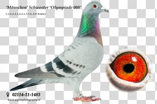 Racing Homer Columbidae Homing Pigeon Pigeon Racing Breed - Racing Pigeon PNG