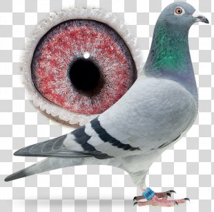 Beak Columbidae Racing Homer Homing Pigeon Bird - Bird PNG
