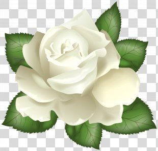 Rose White Flower Clip Art - White Rose Transparent Clip Art Picture PNG